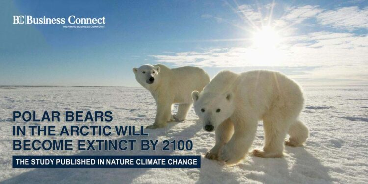 Polar Bears in the Arctic will become extinct by 2100 - Business Connect