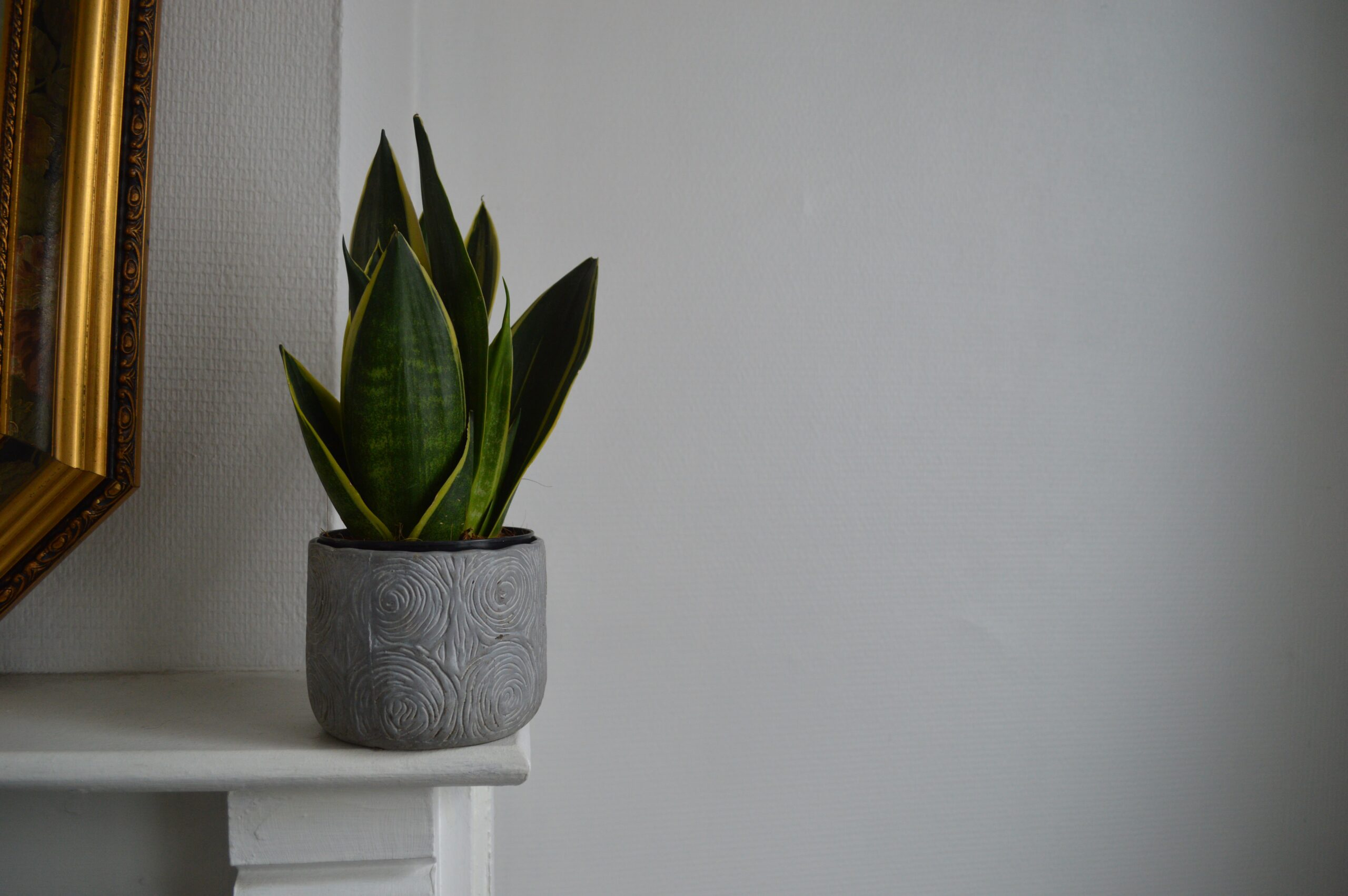 snake plant | Top 5 Indoor Plants for Offices
